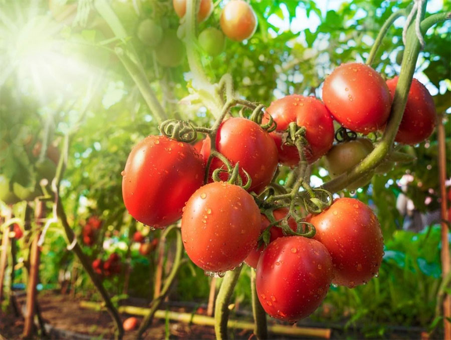 Collect the seeds from your tomato plant for a bumper harvest next year
