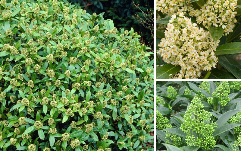 Skimmia Kew Green | 5 Wonderful Winter Plants to Brighten Up Your Garden