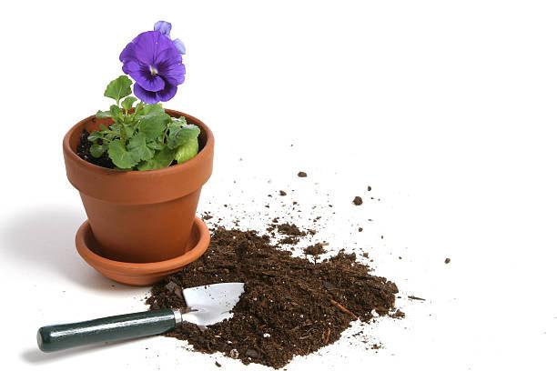 planting violas