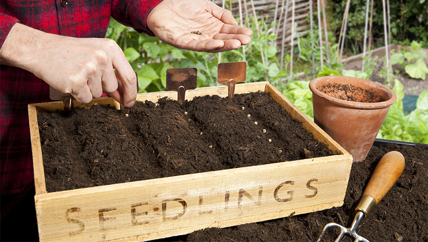 sow your seeds directly into the compost
