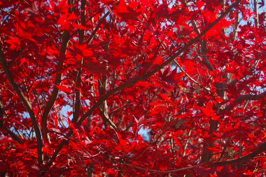 Why Do Leaves Turn Red In Autumn?