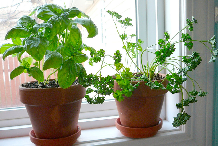 Basil and parsley indoor herbs