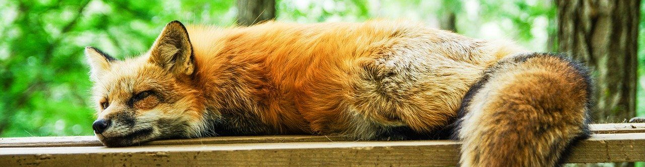 How to Get Rid of Foxes from your Garden » Shetland's ...