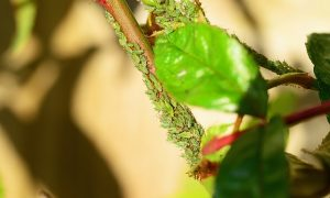 lot of greenfly