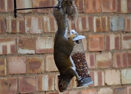 peanuts-squirrel