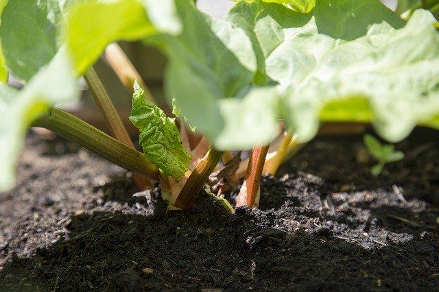 prepare-soil-for-rhubarb