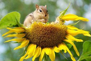 chipmunk-eating-sunflower