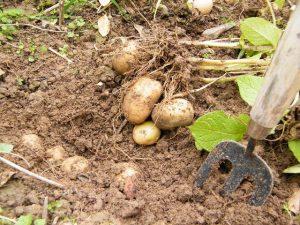 digging-for-potatoes